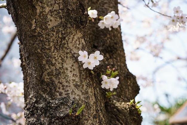 Крупным планом фото цветка сакуры или японской вишни на ветвях деревьев. весенние цветы.