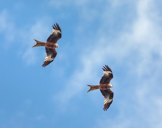 ヨークシャーイングランドで猛禽類を飛んでいるアカトビの写真を閉じる