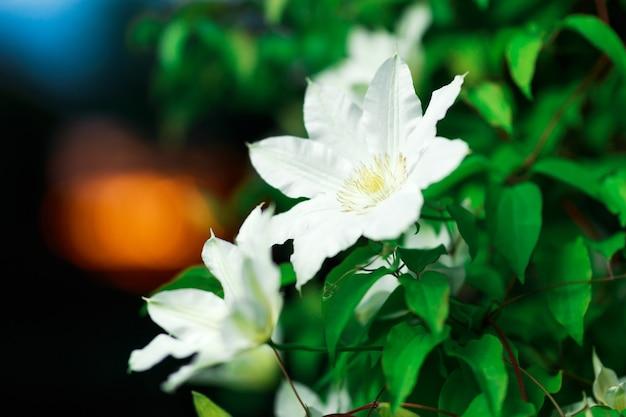 庭の白いクレマチスの花のクローズアップ写真。