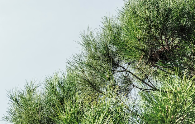 Close-up photo of pine tree branches during sunny spring day.