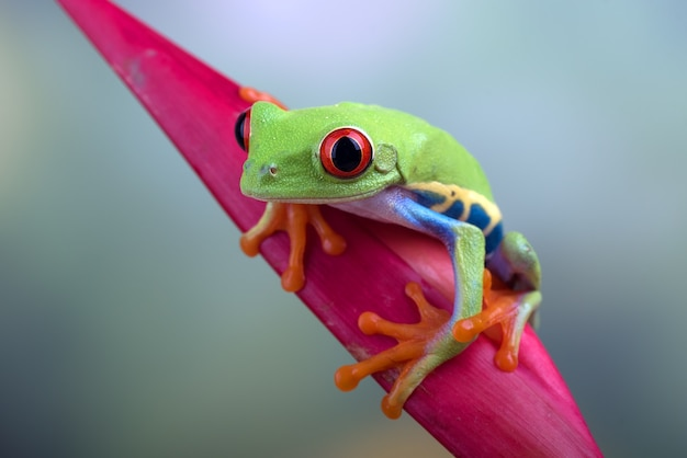 Close up photo of a redeyed tree frog
