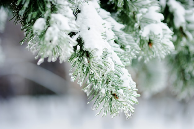 Close up photo of snow-covered pine trees