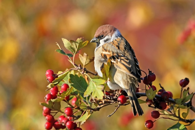 Close up photo of a tree sparrow sits on a branch of a hawthorn with berries