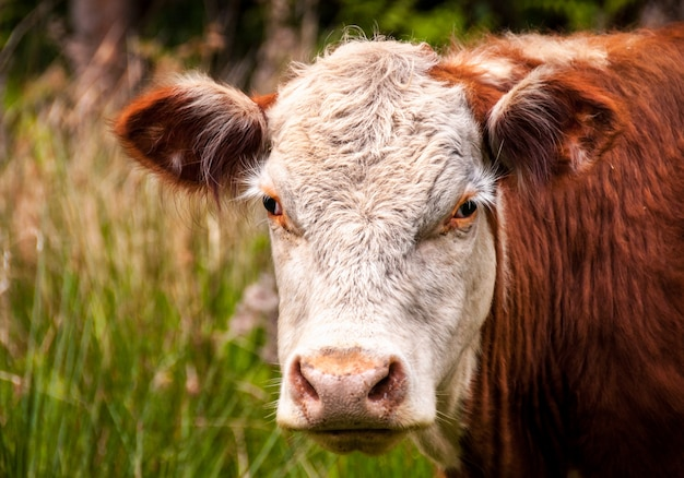 Close-up photo of white and brown cattle