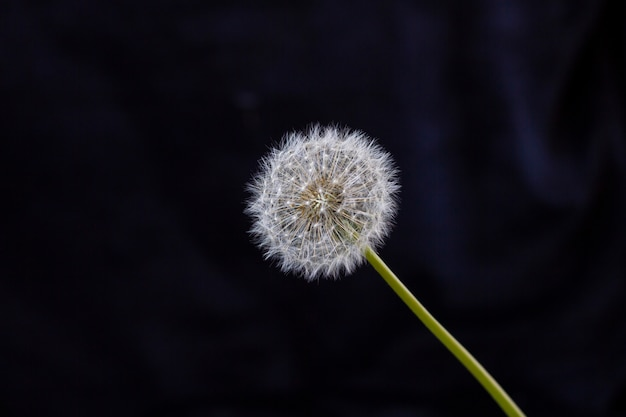 Close up photo of white dandelion flower, wilted dandelion