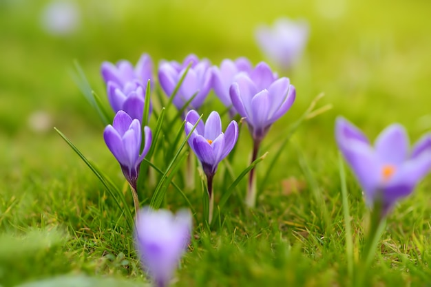Close-up photo of wonderful blooming crocus flowers in fresh green grass with sunny background.