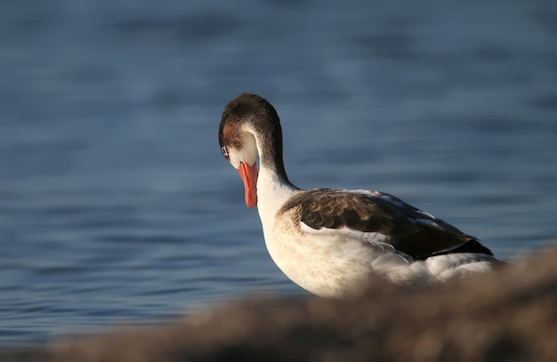 Close-up photo of a young common shelduck standing on the bank of blue water in soft morning light