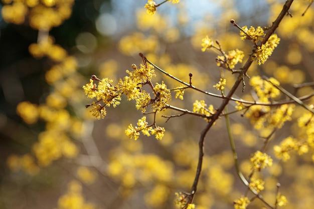 이른 봄 cornelian 체리 층층 나무 꽃의 사진을 닫습니다. 범람원 숲에 피는 관목 cornus mas.