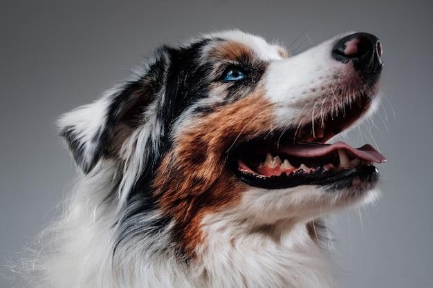 白い背景のカラフルな毛皮でキュートで陽気なオーストラリアの犬の写真を閉じます。