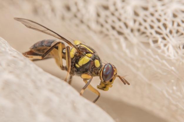 Close up photos of drosophila melanogaster