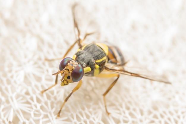 Close up photos of drosophila melanogaster Premium Photo