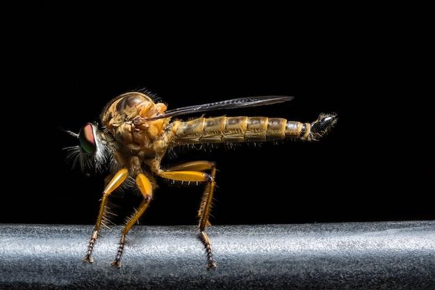 사진 robberfly 검은 배경을 닫습니다