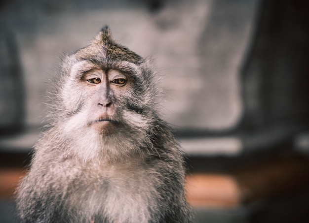 A close up picture of a balinese monkey with a serious face that looks the other way creating a very memeable picture. there is enough negative space to write typography on it.