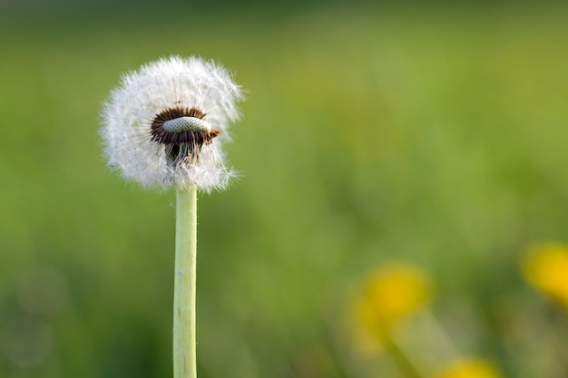 Close-up picture of over bloomed fluffy dandelion with light white seeds on blurred green nature with yellow flowers on bright sunny day. beauty of nature concept.