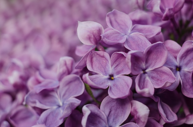 Close up picture of bright violet lilac flowers.