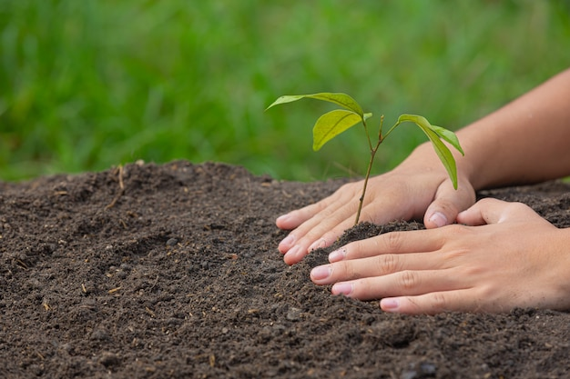 Close up picture of hand holding planting the sapling of the plant