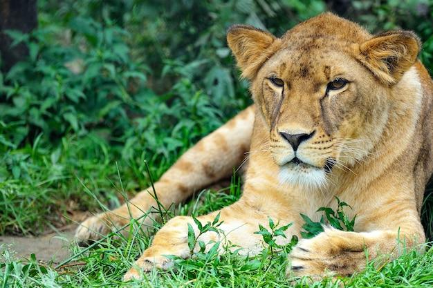 ライオンのクローズアップ写真。芝生でくつろぐ雌ライオンのポートレート