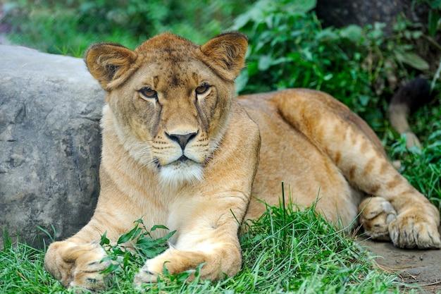 Крупным планом изображение льва. портрет львицы, отдыхающей на траве