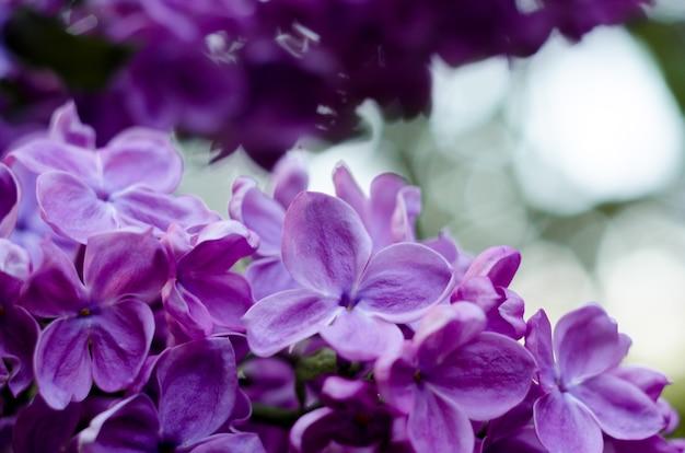 밝은 보라색 라일락 꽃 추상 로맨틱 꽃 배경의 사진을 닫습니다
