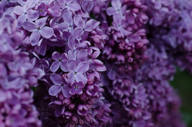 밝은 보라색 라일락 꽃의 사진을 닫습니다