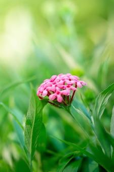 ピンクのパナマローズの花の柔らかい自然の背景の写真を閉じる