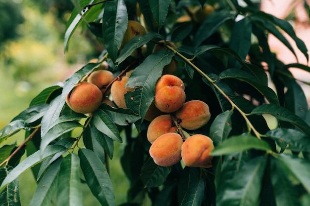Закройте изображение спелых персиков на персиковом дереве, в саду или в домашнем саду, выращиваемом на экологически чистых технологиях, летом, прежде чем собирать сладкие, вкусные, вкусные фрукты.