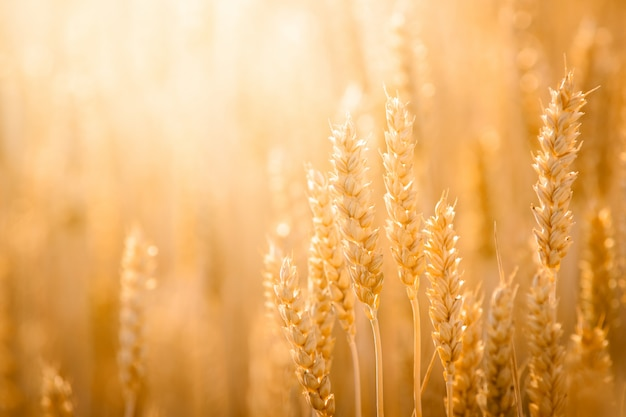 Close-up picture of ripe golden wheat under bright evening light in the field