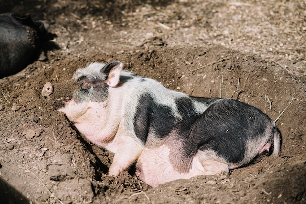 Close-up of a pig sleeping in the soil