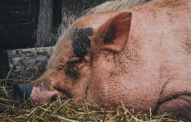 Close up of a pig