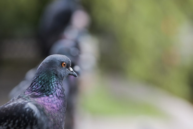 Close-up of a pigeon looking away sitting next to other birds