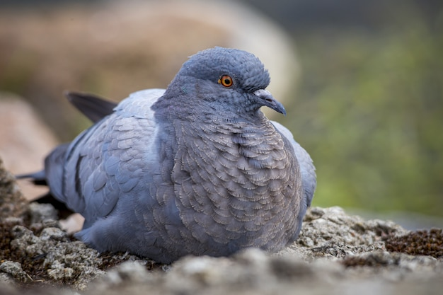 Close up of pigeon sitting on rock
