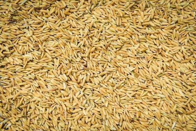 Close up pile of raw paddy rice seed grain - rice texture background , top view