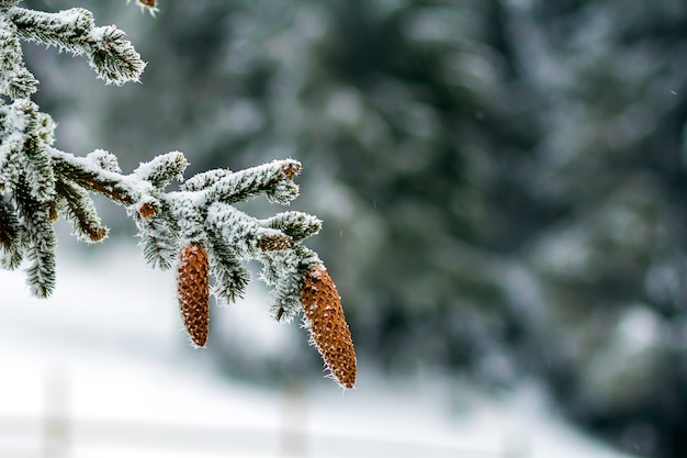 Close-up of pine tree cones in winter covered with white snow and frost