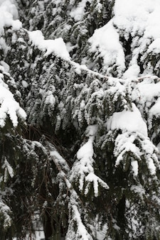 Close-up pine trees with snowy branches