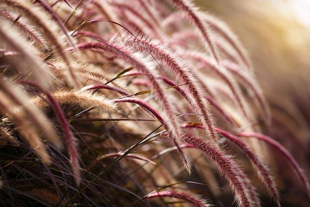 Close-up pink african fountain grass flower field