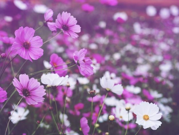 꽃 필드 배경에서 분홍색과 흰색 코스모스 꽃을 닫습니다