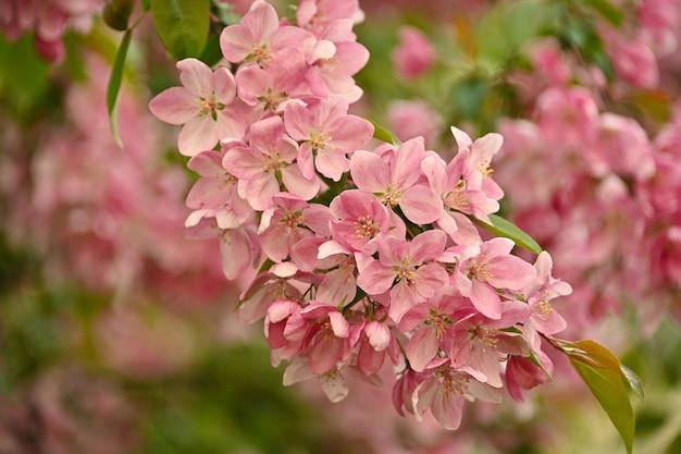 복사 공간, 낮은 각도보기와 녹색 배경 위에 잎 핑크 아시아 야생 crabapple 나무 꽃을 닫습니다
