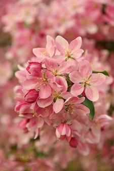핑크 아시아 야생 게 사과 나무 꽃을 닫습니다