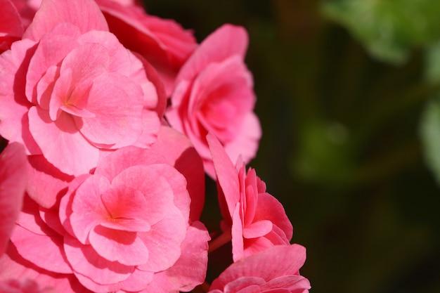 검은 바탕에 분홍색 베고니아를 닫습니다