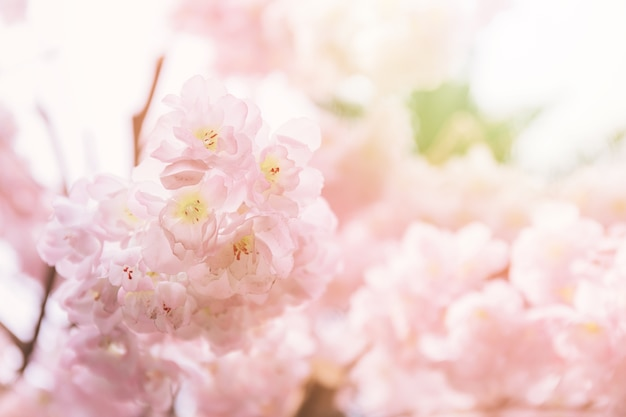 Close up of pink cherry blossoms or known as sakura in japanese