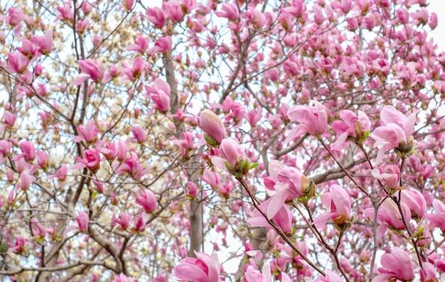 Close up pink chinese magnolia soulangeana flower tree