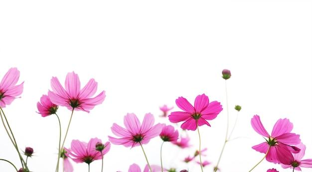 복사 공간이 있는 흰색 배경에 격리된 초원에서 분홍색 코스모스 꽃을 닫습니다. 봄철 또는 여름 시즌을 위한 꽃 테두리 및 프레임. 배너 스타일입니다.