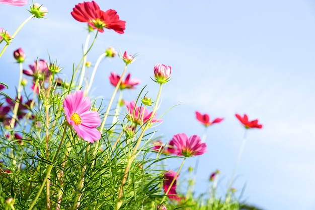 Close up pink cosmos flower with blue sky clouds and sunlight for natural background.