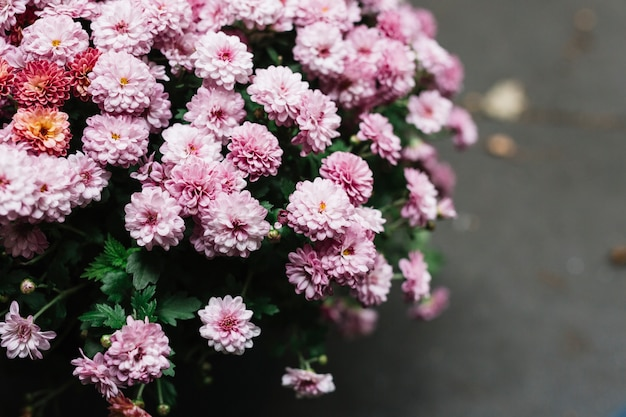Close-up of pink fresh beautiful aster flowers