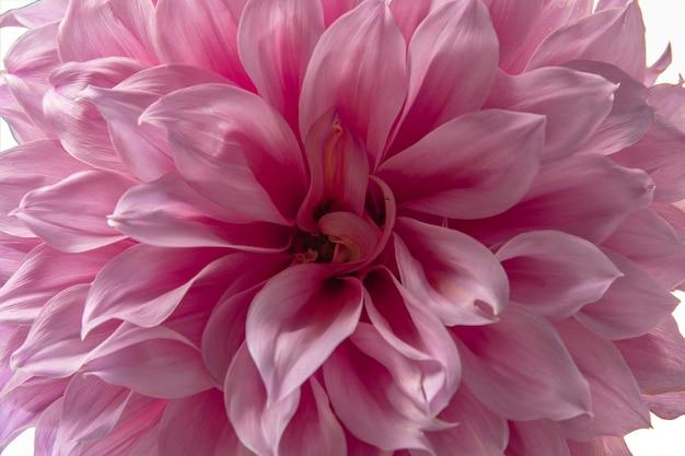 Close up pink fresh dahlia flower.