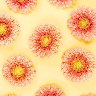 Close-up of pink fresh gerbera flowers on yellow backdrop