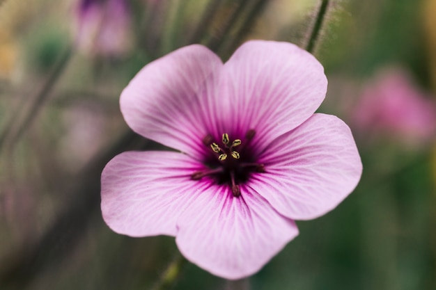 Close-up of pink geranium maderense