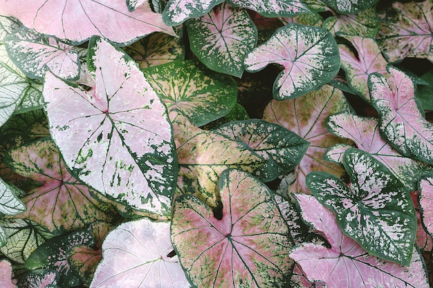 Close-up of pink and green caladium plants