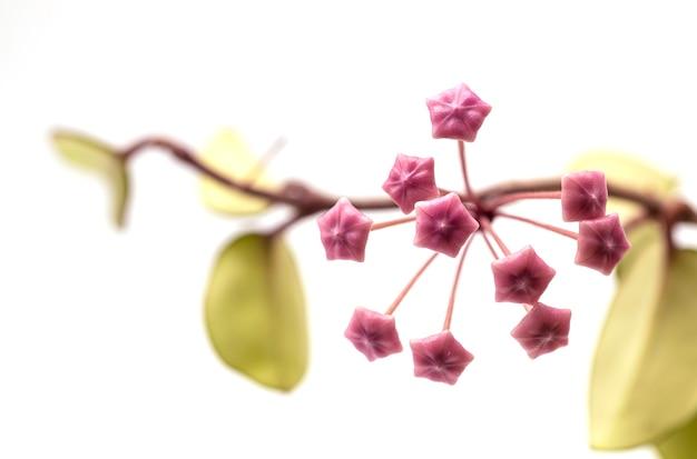 白い背景の上のピンクのhoya花分離株を閉じます。