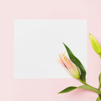 Close-up of pink lily buds on white paper over the pink background